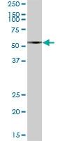 H00051056-B01P - Cytosol aminopeptidase