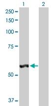 H00051056-D01P - Cytosol aminopeptidase