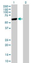 H00051056-M02 - Cytosol aminopeptidase