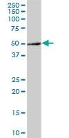 H00051236-B01 - Brain protein 16