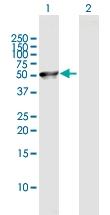 H00051236-B01P - Brain protein 16