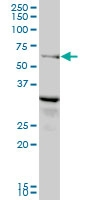 H00051289-B01 - Relaxin-3 receptor 1 / RXFP3