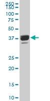 H00051334-A01 - Proline-rich protein 16 / PRR16