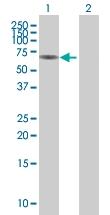 H00051350-B01 - Cytokeratin 2p