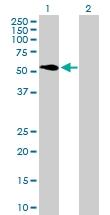 H00051606-B01P - ATP6V1H