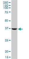 H00053407-M13 - Syntaxin 18 / STX18