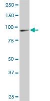 H00054431-M02A - DNAJC10 / ERDJ5