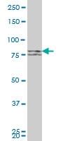 H00055669-M04 - Mitofusin-1