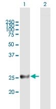 H00055686-B01P - Melanoregulin