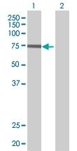 H00056062-B01 - Kelch-like protein 4