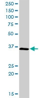 H00057019-D01P - Anamorsin