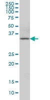 H00057019-M01 - Anamorsin