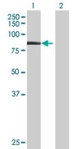 H00057626-B01 - Kelch-like 1 protein