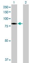 H00065010-D01P - SLC26A6 / Pendrin-L1