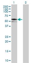 H00065078-B01 - Nogo 66 receptor