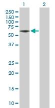 H00065078-B01P - Nogo 66 receptor
