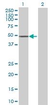 H00065220-B01 - NAD kinase