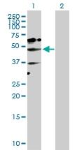 H00065220-D01P - NAD kinase