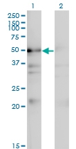 H00065220-M01 - NAD kinase