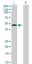H00078991-B01 - Prenylcysteine oxidase-like