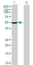 H00079412-B01 - Kremen protein 2