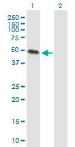 H00079412-B01P - Kremen protein 2