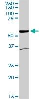 H00080347-D01 - CoA synthase
