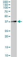 H00080832-D01P - Apolipoprotein L4 / ApoL4