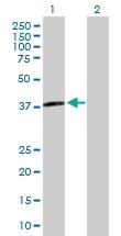 H00080833-B01P - Apolipoprotein L3 / ApoL3