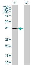 H00083729-B01P - Inhibin beta E chain (INHBE)