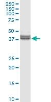 H00083729-D01 - Inhibin beta E chain (INHBE)