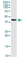 H00083729-D01P - Inhibin beta E chain (INHBE)