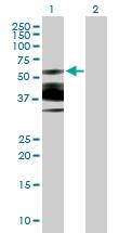 H00084656-B01P - Nuclear protein NP60 / N-PAC