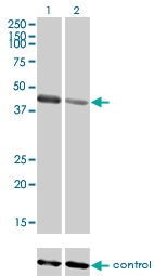 H00084676-M01 - TRIM63 / MURF1 / RNF28