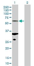 H00084790-D01P - alpha Tubulin / TUBA1C / TUBA6