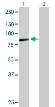 H00084909-B01P - Aminopeptidase O