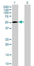 H00084962-B01P - Protein ajuba / JUB
