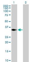 H00089122-B01P - TRIM4 / RNF87