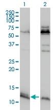 H00093974-M01 - ATPase inhibitor ATPIF1