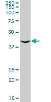 H00114814-M01 - GnRH receptor II / GNRHR2