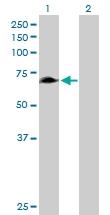 H00114822-B01P - Rhophilin 1 / RHPN1