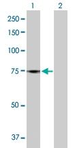H00115361-B01P - GTP-binding protein 4 / GBP4