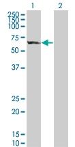 H00115362-B01 - GTP-binding protein 5 / GBP5