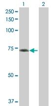 H00115362-B01P - GTP-binding protein 5 / GBP5