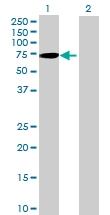 H00115362-B02 - GTP-binding protein 5 / GBP5