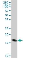 H00126393-B01P - Heat shock protein beta-6 / HSPB6