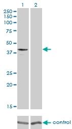 H00131601-M01 - GPR175 / TPRA1