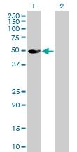 H00132158-B01P - Glycerate kinase
