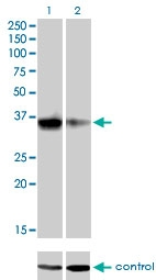 H00145258-M03 - Homeobox protein goosecoid / GSC