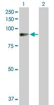 H00154796-D01P - Angiomotin